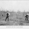 Students pruning peach-trees.