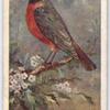 Redstart.