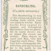 Sanderling.