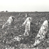 Picking cotton, Lake Dick Project, Arkansas, September 1938.
