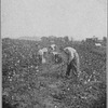 Cotton picking in Alabama.