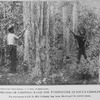 Pulling or chipping bark for turpentine in South Carolina; An enormous trade in this industry has been developed in recent years; [Courtesy of the Forest Service, U.S. Dept. of Agriculture.]