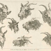 [Studies of heads of goats.]