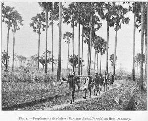 Peuplements de rôniers (Borassus flabelliformis) au Haut-Dahomey.