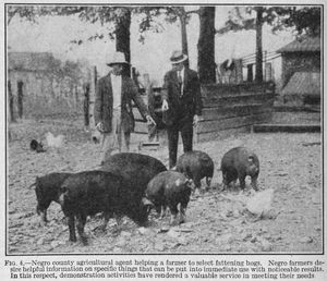 Negro county agricultural agent helping a farmer to select fattening hogs; Negro farmers desire helpful information on specific things that can be put into immediate use with noticeable results; In this respect, demonstration activities have rendered a valuable service in meeting their needs.