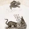 a. Brazil'skaia zhaba, b. Sniatyi s eia glaza viek ili viezhd, c. Zadniaia noga; d. Lemur Makako; e. Murav'ed pestrokhvostyi
