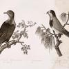 Gornoi golub Nukagivskii ; Popugaichik Pigidi