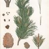 Pinus cembra; Kedr sibirskoi [Siberian pine]