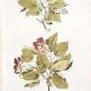 Acer tataricum;  Neklen