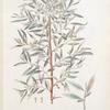 Eleagrus angustifolia;  Lokh stiepnoi