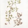 Prunus sibirica;  Sliva kamennaia [Stony prune]