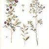 Cerasus fruticosa;  Vishenka stepnaia [Steppe sour cherry]