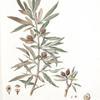 Pyrus salicifolia;  grusha lokhovaia [Pear]