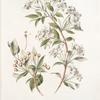 Pyrus baccata;  Iablochki sibirskie [Siberian apples]