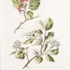 Crataegus sanguinea; Boiaryshnik sibirskoi  [Siberian hawthorn]