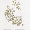 Crataegus monogyna; Boiaryshnik melkolistnoi [Small-leafed hawthorn]