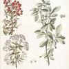 Mespilus 1. Communis 2. Pyracantha;  1. Chishkovoe derevtso 2. Tern iagodnoi [Berry blackthorn]
