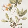 Azalea pontica;   Odur kavkazskii [Azalea Caucasus]