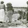 Migratory laborers cutting celery, Belle Glade, Florida, January 1941.