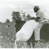 African American cotton plantation worker, hired as a day laborer, riding a mule and holding down a sack of cotton in the cotton field at Nugent Plantation, Benoit, Mississippi Delta, Mississippi, October 1939.]
