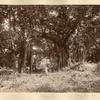 Banyan Tree (one tree), Roaring River, St. Ann.