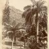 Indian Palm. Castleton.