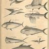 The flying fish and its enemies of the air and water: a frigot or fork taile; a straw taile; flying fishes; an albicore; a dorado; a dolphin; alcatras; a bonito to the south of the line