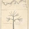 Island of Madera; The dragon tree