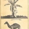 The bomba or capivard at the foot of a banana tree; A Cape de Verde camel
