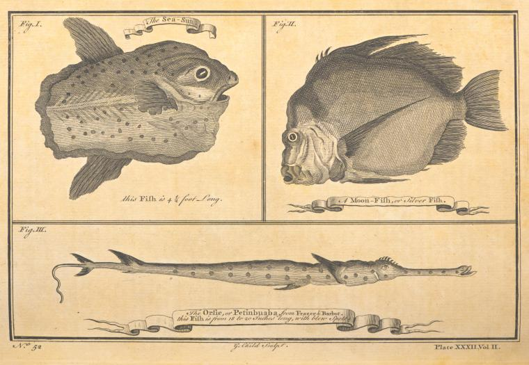 [Fish found on the Guinea coast.]