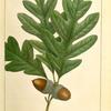 White Oak (Quercus alba).