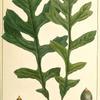 Mossy Cup Oak (Quercus olivæformis).