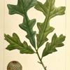 Over Cup Oak (Quercus lyrata).
