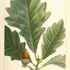 Swamp White Oak (Quercus P[rin]us discolor).