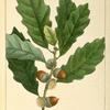 Small Chesnut Oak (Quercus P[rin]us chincapin).