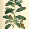 Live Oak (Quercus virens).