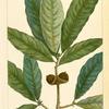 Laurel Oak (Quercus imbricaria).