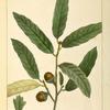 Upland Willow Oak (Quercus cinerea).