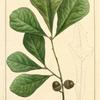 Water Oak (Quercus aquatica).
