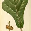 Black Jack Oak (Quercus ferruginea).