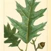 Gray Oak (Quercus ambigua).
