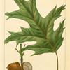 Red Oak (Quercus rubra).