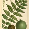 Black Walnut (Juglans nigra).