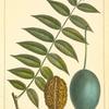 Butter Nut (Juglans cathartica).