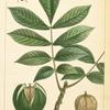 Mocker Nut [Mockernut] Hickory (Juglans tomentosa).