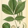 Shell bark [Shellbark] Hickory (Juglans squamosa).