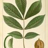 Thick Shell bark [Shellbark] Hickory (Juglans laciniosa).