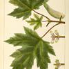 White Maple (Acer eriocarpum).