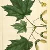 Sugar Maple (Acer saccharinum).