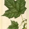 Black Sugar Maple (Acer nigrum).